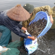 Mr. Tran Van Van and other farmers collecting shrimps in the shrimp pond