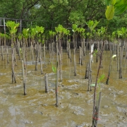 Mangrove saplings at the Bangkeao plantation site