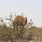 Assessment of Camel Grazing