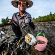 Harvesting oysters in low tide – Trat province