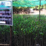 Mangrove seedlings produced by the project