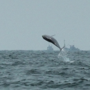 Indo-Pacific Humpback Dolphins in the Mandovi Estuary