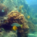 Butterfly fish and snappers in Trao Reef Marine Reserve