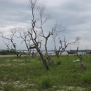 Mangroves die due to construction of fish port in An Hoa Lagoon