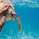 Hawksbill turtle, once unsustainably harvested now enjoy total protection in Seychelles