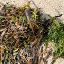 Seagrass washes ashore on the Gulf of Mannar islands