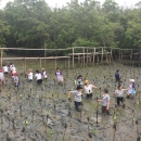Marriott and MFF planting mangrove trees in Bang Kaeo