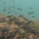 Coral reef fauna around Grande Island, Goa