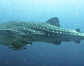 Whale Sharks, the largest known fish.