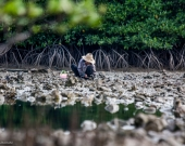 During low tide in early morning in Salak Kok Bay, Trat, Ms. Lek, local resident of Koh Change harvests mangrove oysters.