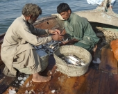 In Rehri Village, Pakistan, MFF is working with local fishers to improve post-harvest fish catch.