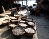 Fish proccessing for drying ShyamnagarCIUCN