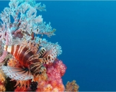 Lion fish next to a pristine reef in Seychelles
