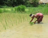 Straight-row transplanting reduces the cost of rice seed