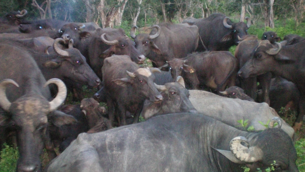 Buffaloes managed by widows