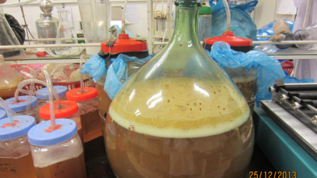 Fermented beverage produced from Sonneratia caseolaris fruit