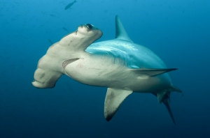 The Scalloped Hammerhead shark (Sphyrna Iewini) is an important part of the artisanal shark fishery in Seychelles.