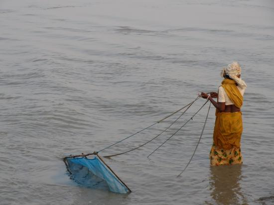 Poverty drives the Sundarban women to illegal collection of shrimp post larvae